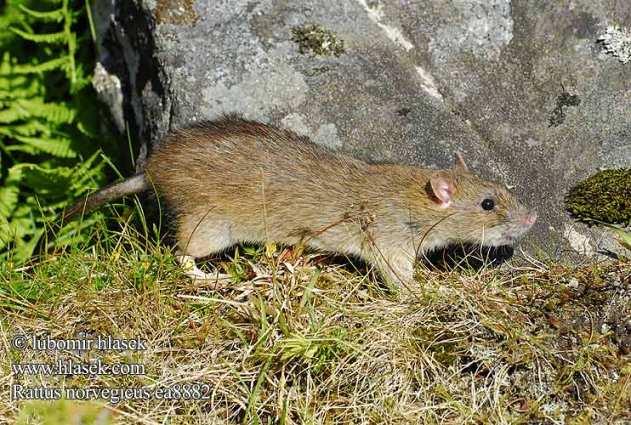Roedores urbanos ratas ratones - Trampas para ratones de campo ...